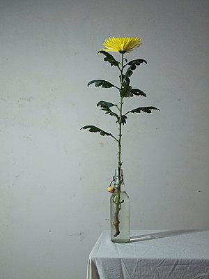 Chrysanthemum - p444m701184 by Müggenburg