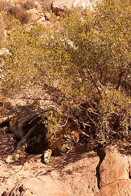 Löwe im Schatten - p045m1441329 von Jasmin Sander