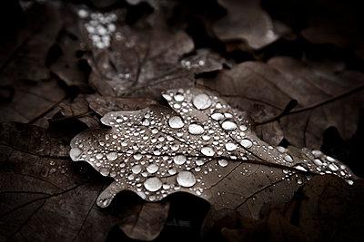 Tears on a oak leaf - p1062m1172169 by Viviana Falcomer