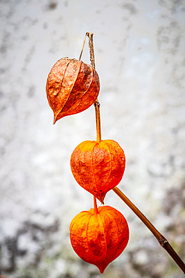 Three orange Physalis alkekengi Chinese lantern seed heads - p1302m2152545 by Richard Nixon