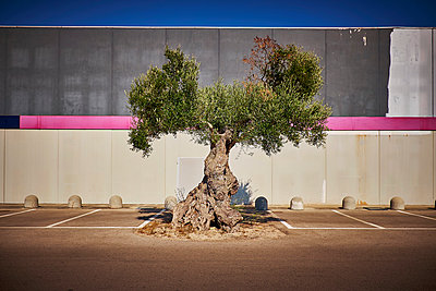 Italy, Apulia, Olive tree on parking place in Cavallino - p300m1189175 by Dirk Kittelberger