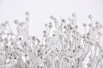 Covered Thistles - p876m777724 by ganguin