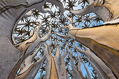 Quiver Tree trunk, Namib Desert, Namibia - p884m1357003 by Yva Momatiuk & John Eastcott