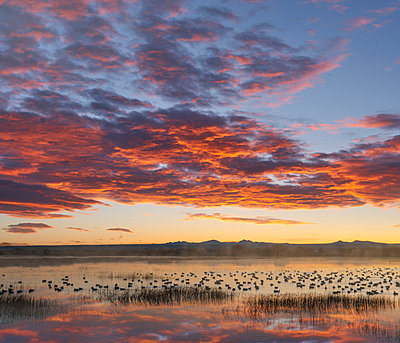Snow Goose flock in pond at sunrise, Bosque del Apache National Wildlife Refuge, New Mexico - p884m1357012 by Tim Fitzharris