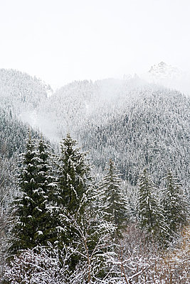 Trees covered in snow - p9243841f by Image Source