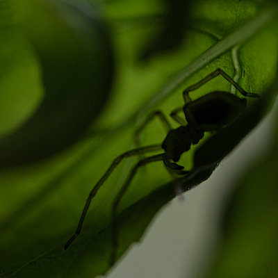 Spider on green leaf, close-up - p1624m2223711 by Gabriela Torres Ruiz