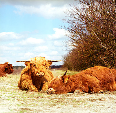 Scottish highlanders in dunes - p1231m1051572 by Iris Loonen