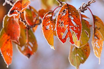 Autumn leaves - p307m974266f by Mamoru Muto