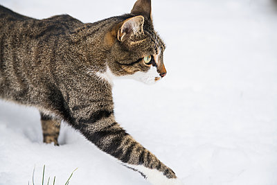Housecat playing in the winter snow - p1166m2247109 by Cavan Images