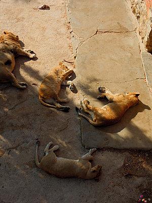 Schlafende Löwen - p1189m1017076 von Adnan Arnaout