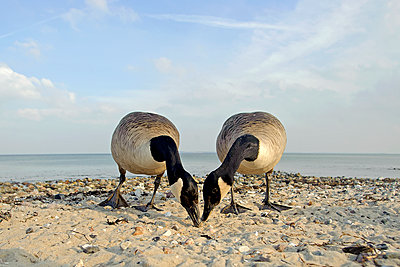 Two canada geese, Branta canadensis, searching feed - p300m950346f by Hans Clausen