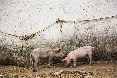 Two piglets - p628m1476242 by Franco Cozzo