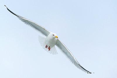 Zilvermeeuw; herring gull; larus argentatus; - p1144m967453 by Nico van  Kappel