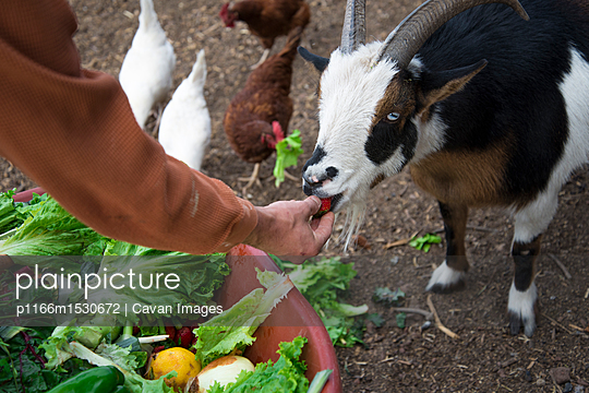 Cropped image of man feeding goat - p1166m1530672 by Cavan Images