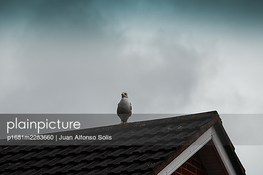 Single seagull on the rooftop - p1681m2283660 by Juan Alfonso Solis