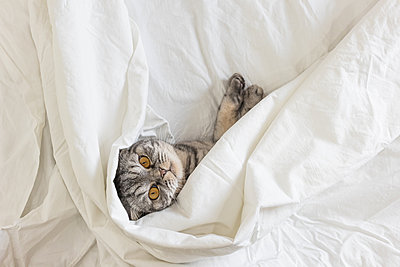A gray scottish fold cat lies on a bed in a sheet. - p1166m2171699 by Cavan Images