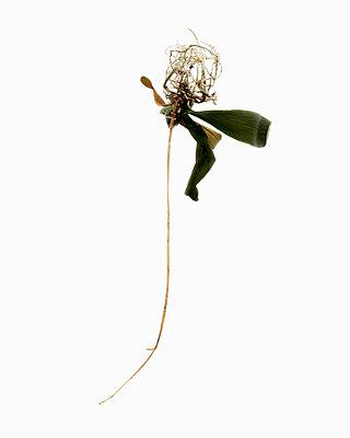 Tote Pflanze vor weiß - p1177m965856 von Philip Frowein