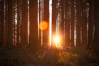 Letzte Sonnenstrahlen in Nadelwald - p253m1514971 von Oscar