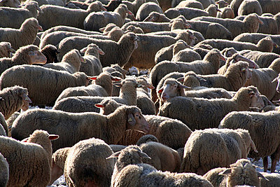 Flock of sheep in winter - p2770155 by Dieter Reichelt