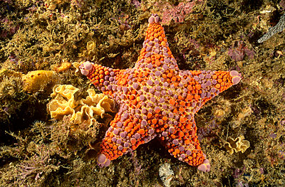 Firebrick Sea Star portrait - p8841644 by Fred Bavendam