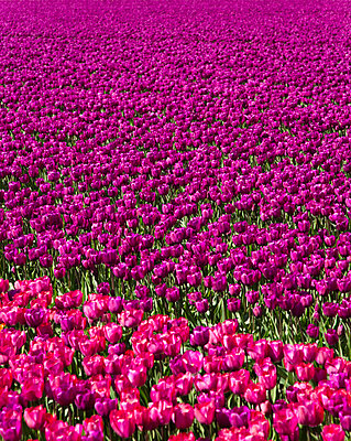 Tulip field - p1032m1139045 by Fuercho