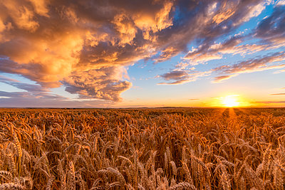 United Kingdom, East Lothian, wheat field at sunset - p300m2081476 by Scott Masterton