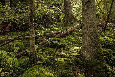 Mossy forest in Harskogen, Sweden - p352m2040445 by Andreas Ulvdell