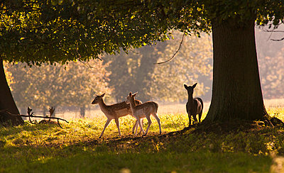 Deer Standing Under A Tree; North Yorkshire England - p442m699824f by John Short