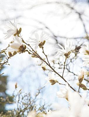 Weiße Magnolienblüte - p606m907385 von Iris Friedrich