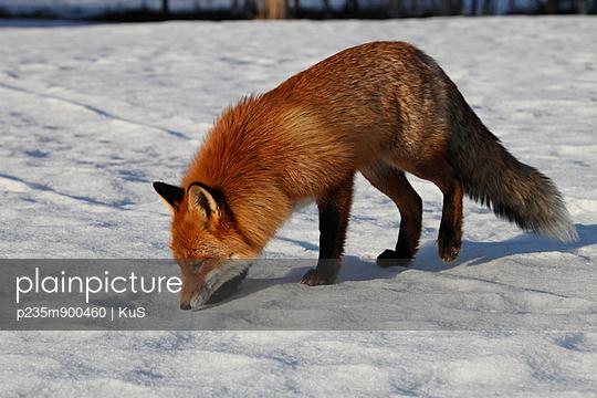 Fuchs schnüffelt am Schnee - p235m900460 von KuS