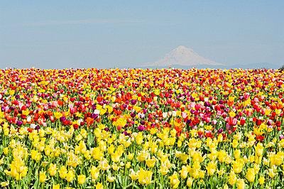 Mt. Hood and Tulips; Wooden Shoe Tulip Farm, Woodburn, Oregon, USA - p4429198 by Dan Sherwood