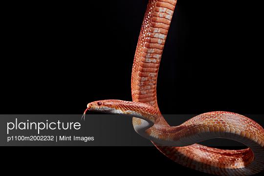 plainpicture - plainpicture p1100m2002232 - Portrait of Corn snake (Pan... - plainpicture/Mint Images