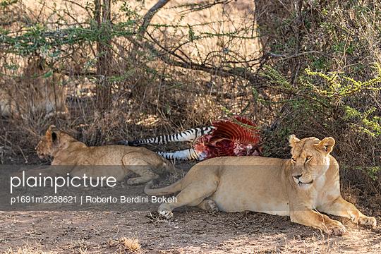 lions zebra remains - p1691m2288621 by Roberto Berdini Bokeh