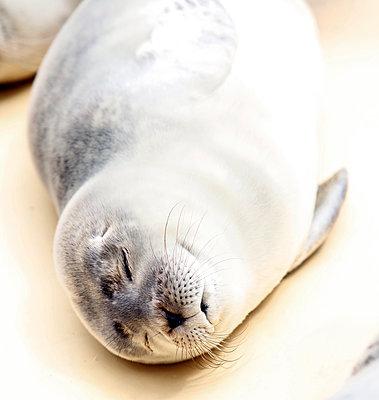Junger Seehund - p1221m1124891 von Frank Lothar Lange