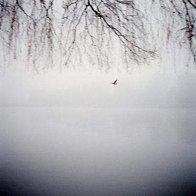 Single bird flying in the fog - p1287m2288686 by Christophe Darbelet