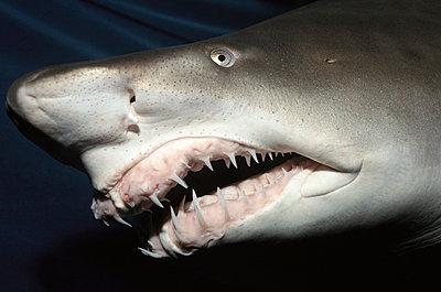 Grey Nurse Shark close-up of teeth and nose - p884m862411 by Norbert Wu