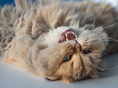 Cat lying on back - p299m2087232 by Silke Heyer