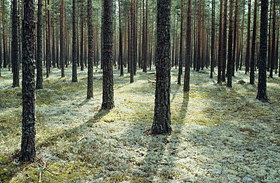 Tree trunks in forest - p5751945f by Kenneth Bengtsson