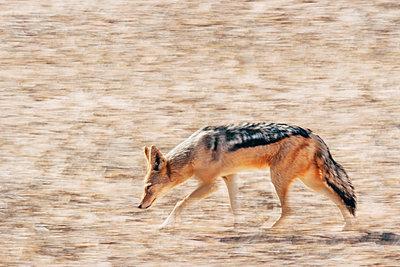 Einzelner Schakal, Kalahari, Afrika - p1065m982587 von KNSY Bande