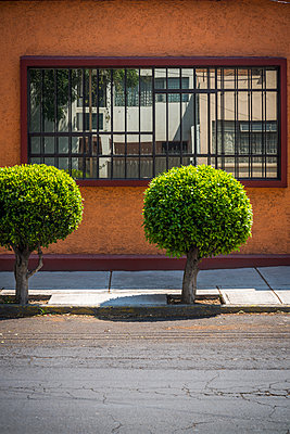 Two trees, Coyoacan, Mexico City - p1170m1573329 by Bjanka Kadic