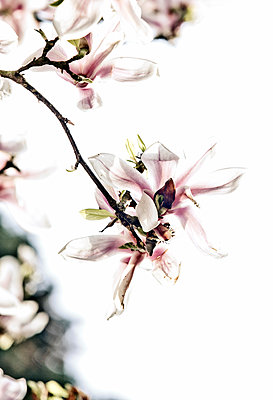 Blüte einer Magnolie - p1221m1131852 von Frank Lothar Lange