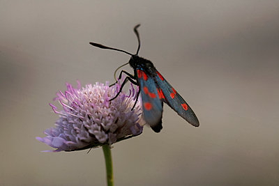 The Five-spot burnet butterfly (Zygaena trifolii) foraging a Field scabious (Knautia arvensis), Luberon, Provence, France - p1028m1515216 von Jean Marmeisse