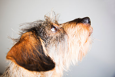 Portrait of wire-haired dachshund - p300m1101165f by Jan Tepass