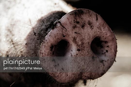 Schwein - p417m1162949 von Pat Meise