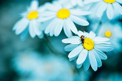 Close-up of Chamomile flowers - p300m2005490 von Jana Mänz