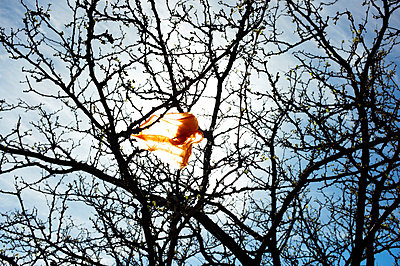 Plastic bag hanging in a tree - p584m710296 by ballyscanlon