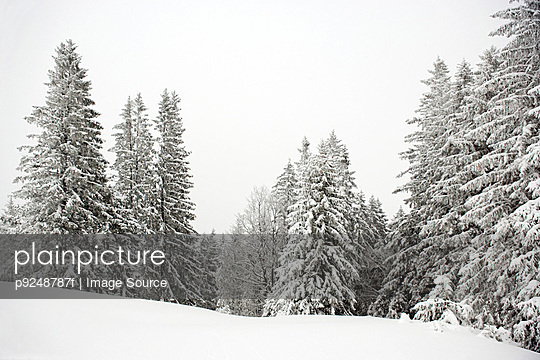 Fir trees covered in snow - p9248787f by Image Source