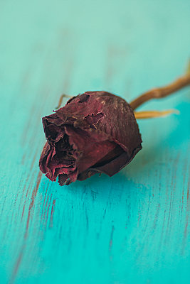 Close up of a dried red rose  - p794m2021978 by Mohamad Itani