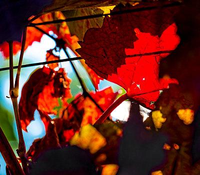 Blätter von Weinreben - p979m1129250 von Kosa