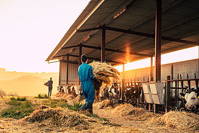 Young farmer wearing blue overall while feeding straw to calves on his farm - p300m2188028 by Aitor Carrera Porté
